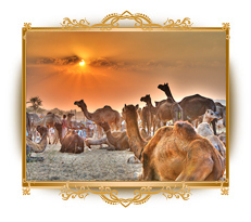 Pushkar fair, pushkar, pushkar camel fair
